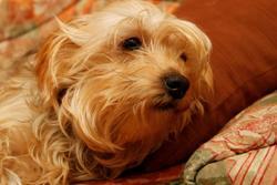 Priska, chien Yorkshire Terrier
