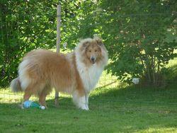 Elzo, chien Colley à poil long