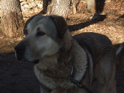 Wolf, chien