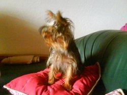 Deadle, chien Yorkshire Terrier