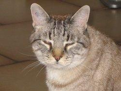 Pimousse, chat Gouttière