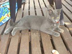 Grisette, chat Bleu russe