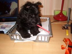 Flora, chien Scottish Terrier