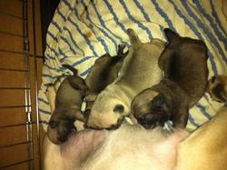 Les Bébés, chien Carlin