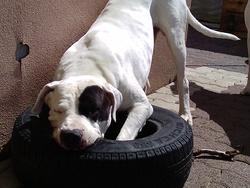 Varegue, chien Dogue argentin