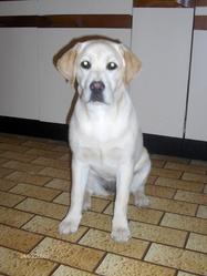 Caline, chien Labrador Retriever