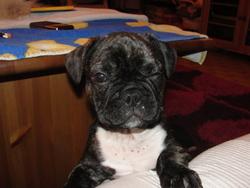 Stitch, chien Bouledogue français