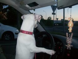 Filia, chien Jack Russell Terrier