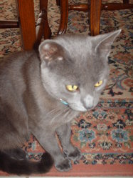O'maley, chat Chartreux