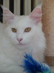Dolly Joly De Miysis, chat Maine Coon