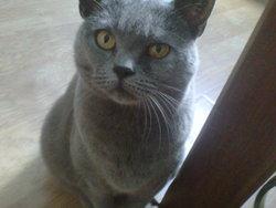 Cybèle, chat Chartreux