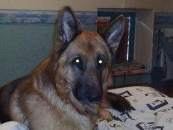 Cash, chien Berger allemand