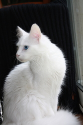 Dalton, chat Angora turc