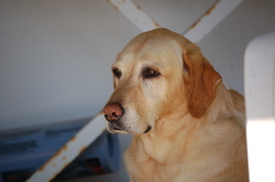 Fanny, chien Labrador Retriever