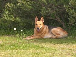 Diego , chien Berger allemand