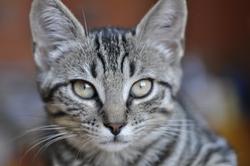 Pastelle, chat