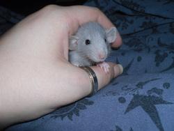 Seemann, rongeur Rat
