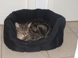 Axel, chat Européen