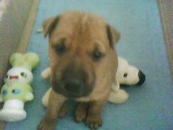 Sami, chien Shar Pei