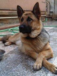 Tara, chien Berger allemand