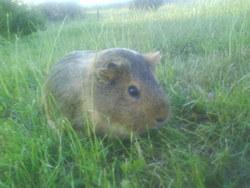 Hermia, rongeur Cochon d'Inde