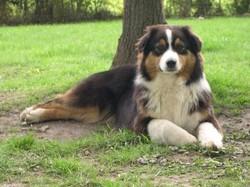 Ronald, chien Berger australien
