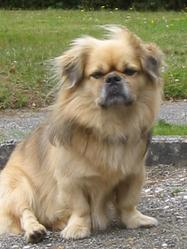 Steven, chien Épagneul tibétain