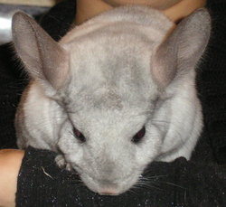 Boony , rongeur Chinchilla