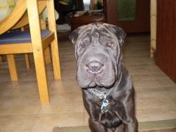 Yogi, chien Shar Pei