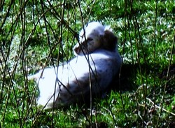 Uxia, chien Setter anglais