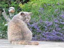 Vanille, chat British Shorthair