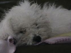 Princesse, chien Bichon à poil frisé