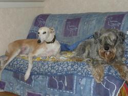 Paletta, chien Lévrier espagnol