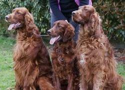 Curdy - Ermès- Haeton , chien Setter irlandais