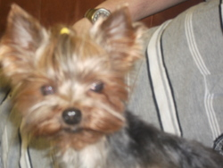 Dilou, chien Yorkshire Terrier