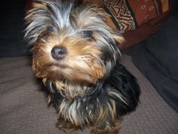 Gaylord, chien Yorkshire Terrier