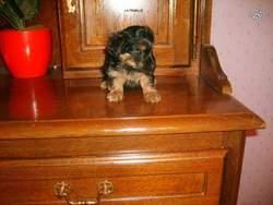 Mireille, chien Yorkshire Terrier