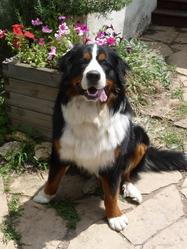 Cyrano, chien Bouvier bernois