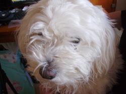 Bichette, chien Bichon bolonais