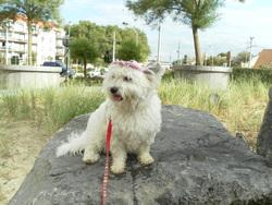 Lassie, chien