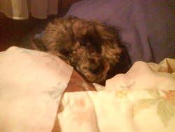 Shipie, chien Caniche