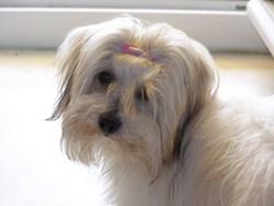Bahia, chien Coton de Tuléar