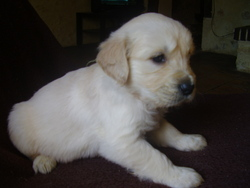Meringue, chien Golden Retriever