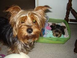 Violette, chien Yorkshire Terrier
