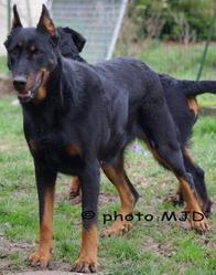 Tesska, chien Beauceron