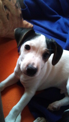 Klyde, chien Jack Russell Terrier