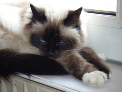 Amaya, chat Birman