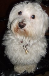 Sam, chien Bichon maltais