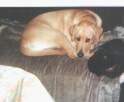 Atos, chien Labrador Retriever