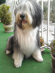 Verdi, chien Bearded Collie